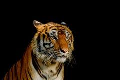 Визирование тигра стоковое изображение