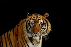 Визирование тигра стоковые изображения