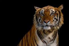 Визирование тигра стоковое фото rf