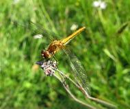 визирование dragonfly Стоковая Фотография RF