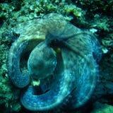 Визуальный контакт осьминога Стоковая Фотография RF