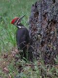 Визуальный контакт Woodpecker Pileated стоковые фотографии rf