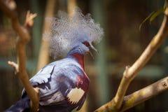 Виктория увенчало голубя на ветви дерева Стоковая Фотография RF