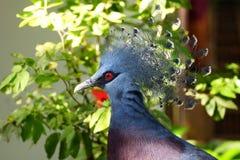 Виктория увенчало голубя на парке птицы KL. Стоковая Фотография RF
