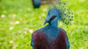 Виктория увенчало голубя, птицы Goura с зеленой травой на предпосылке Стоковое фото RF