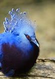 Виктория увенчало голубя Стоковые Фотографии RF