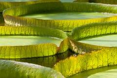 Виктория Regia в дождевом лесе стоковая фотография rf