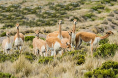 Викуньи в перуанских Андах Arequipa Перу Стоковое Фото