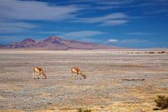 Викуньи в Salar de Тара, Чили Стоковая Фотография RF