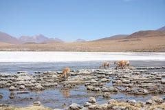Викуньи или одичалые ламы в горах Южной Америки Стоковые Фотографии RF