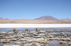 Викуньи или одичалые ламы в пустыне Atacama, Америке Стоковое Изображение RF