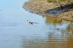 Вилк-замкнутое летание мухоловки на воде стоковая фотография rf