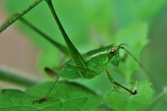 Вилк-замкнутое katydid куста Стоковые Фотографии RF