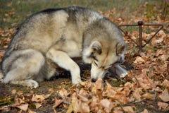 Виновная собака смотрит прочь и пробует раболепствовать стоковые изображения