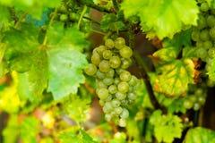 Виноградина белого вина в винограднике Стоковое Изображение RF