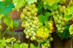 Виноградина белого вина в винограднике Стоковые Изображения RF
