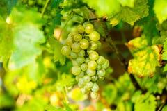 Виноградина белого вина в винограднике Стоковые Изображения