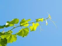 виноградина ветви Стоковые Фото