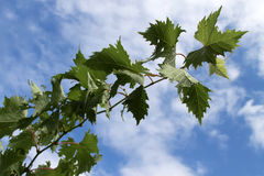 виноградина выходит лоза Стоковые Фото
