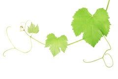 виноградина выходит лоза Стоковые Изображения RF