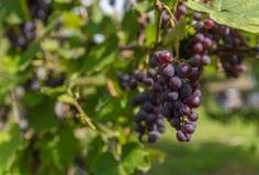 Виноградина в винограднике Стоковое Фото