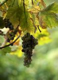 Виноградина в листьях солнца Крыма стоковое фото rf