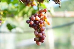 Виноградина в Nan Nakhon, Таиланде стоковая фотография
