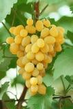 виноградина группы выходит желтый цвет лозы Стоковое Изображение