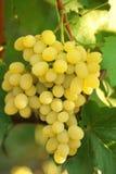виноградина группы выходит желтый цвет лозы Стоковые Фотографии RF