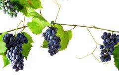 виноградина группы свежая Стоковые Фото