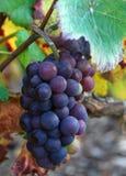 виноградина группы Стоковые Фото