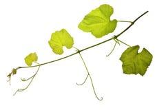 виноградина изолировала лозы Стоковое Изображение RF