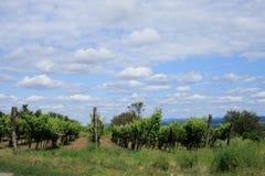 виноградина кордона Стоковые Фото