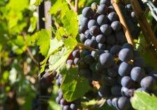 Виноградина красного вина Стоковое фото RF
