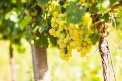 Виноградина на кусте стоковое фото