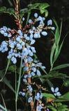 виноградина Орегон Стоковое Изображение RF