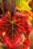 виноградина осени выходит красный цвет Стоковые Фотографии RF