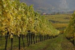 виноградина смотря лозу Стоковое Фото
