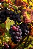 Виноградина 09 Стоковая Фотография
