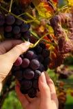 Виноградина 11 Стоковые Изображения RF