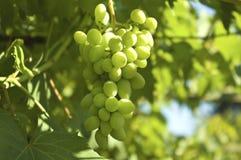 виноградина стоковые изображения rf