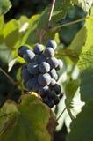 виноградина barbera Стоковое Изображение