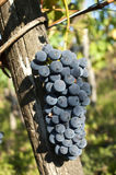 виноградина barbera Стоковые Изображения