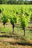 виноградина bush стоковая фотография rf