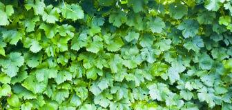 виноградина dof предпосылки выходит отмелой Картина виноградника зеленый цвет выходит текстура картины природы Стоковое фото RF