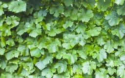 виноградина dof предпосылки выходит отмелой Картина виноградника зеленый цвет выходит текстура картины природы Стоковая Фотография RF