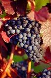 виноградина remstal Стоковые Фото