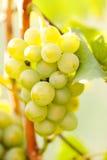 виноградины ветви Стоковые Фото