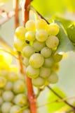 виноградины ветви Стоковые Изображения
