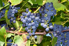 виноградины ветви Стоковое Изображение